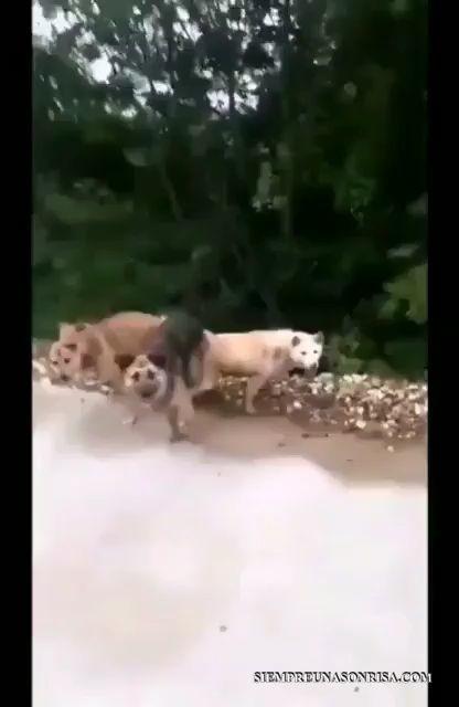 videos perros divertidos, videos graciosos,humor miniatura