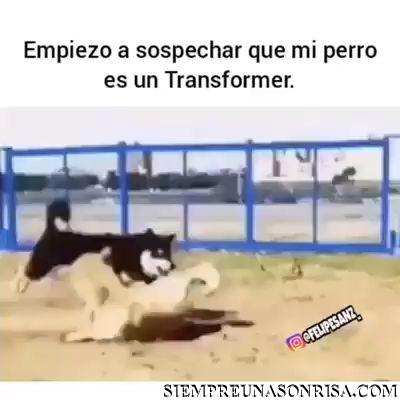videos,perro transformer,videos,perros,saltos,mascotas