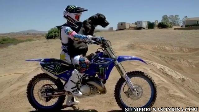 perros montados en motos,motocross,videos,mascotas miniatura