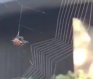 Es maravilloso y me resulta hipnótico ver como una araña teje su tela miniatura