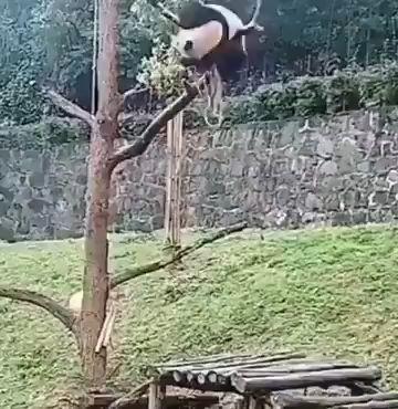 Son los pandas los más torpes en el reino animal miniatura