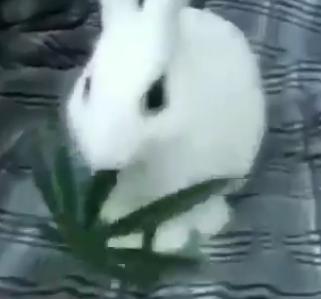 Conejo come marihuana