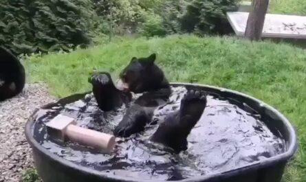 osos, videos de osos, osos bañandose