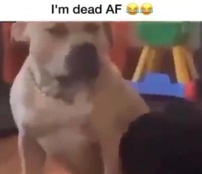 Perros que se parecen a humanos