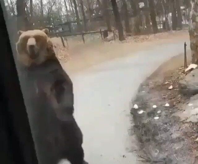 Muy orondo, pasea el oso