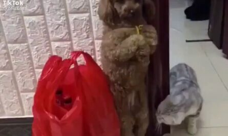 videos gatos divertido tiktok miniatura